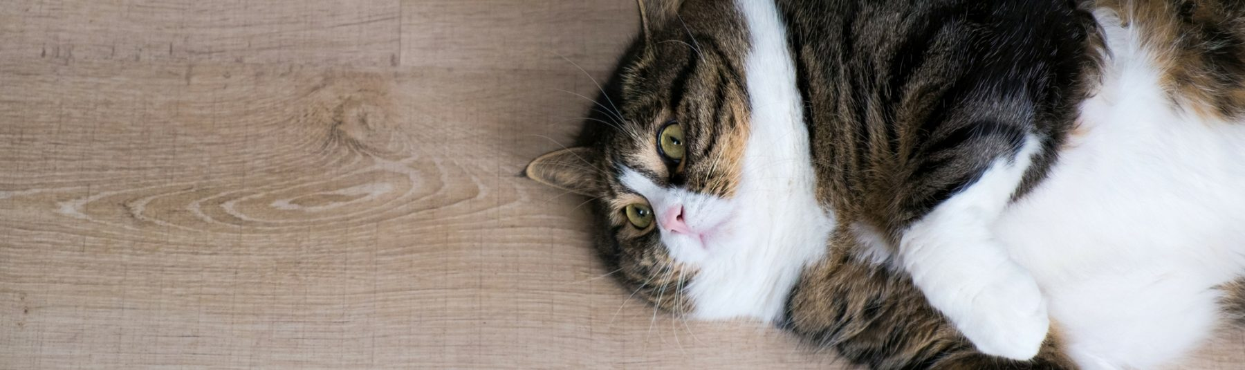 Overweight cat lying on wooden floor