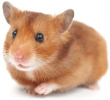 Beginners Guide: Hamster Care - VetCare Pet Hospital