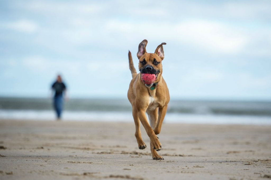 Dog running on a beach with a ball in its mouth