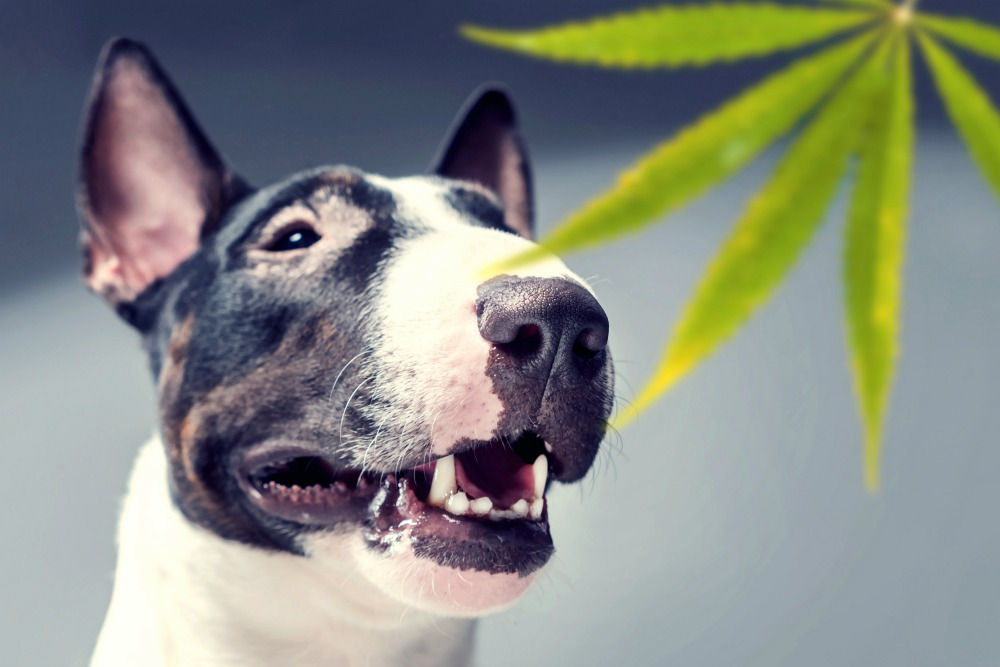 Bull terrier with marijuana leaf